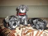 Собаки, щенки Цвергшнауцер, цена 2200 Грн., Фото