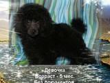 Собаки, щенята Великий пудель, ціна 2000 Грн., Фото