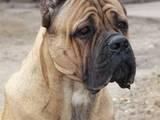 Собаки, щенята Бордоський дог, ціна 2500 Грн., Фото