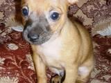 Собаки, щенки Русский длинношерстный тойтерьер, цена 2000 Грн., Фото
