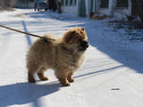 Собаки, щенята Чау-чау, ціна 3000 Грн., Фото