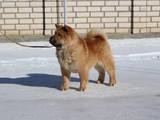 Собаки, щенки Чау-чау, цена 3000 Грн., Фото