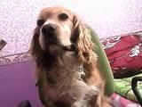 Собаки, щенята Кавалер-кинг-чарльз спаніель, ціна 1300 Грн., Фото