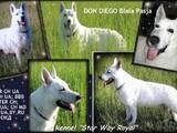 Собаки, щенята Німецька вівчарка, ціна 21500 Грн., Фото