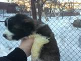 Собаки, щенята Московська сторожова, ціна 1500 Грн., Фото