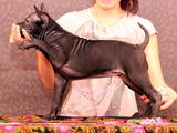 Собаки, щенки Родезийский риджбек, цена 20000 Грн., Фото