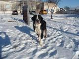 Собаки, щенки Большой Швейцарский зенненхунд, цена 4000 Грн., Фото