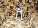 Собаки, щенята Міттельшнауцер, ціна 700 Грн., Фото