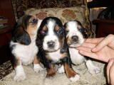 Собаки, щенки Бассет, цена 1500 Грн., Фото