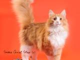 Кошки, котята Норвежская лесная, цена 5600 Грн., Фото