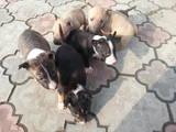 Собаки, щенята Бультер'єр, ціна 1200 Грн., Фото