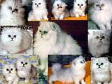 Кошки, котята Персидская, цена 900 Грн., Фото
