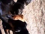 Собаки, щенята Гладкошерста кроляча такса, ціна 1600 Грн., Фото