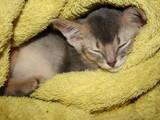 Кішки, кошенята Абіссінська, ціна 5000 Грн., Фото