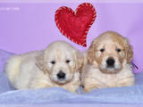 Собаки, щенята Золотистий ретрівер, ціна 3500 Грн., Фото