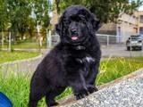 Собаки, щенята Ньюфаундленд, ціна 2500 Грн., Фото