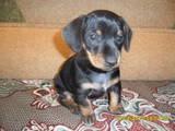 Собаки, щенята Різне, ціна 300 Грн., Фото
