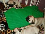 Собаки, щенки Мопс, цена 2000 Грн., Фото