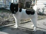 Собаки, щенята Американський акіта, ціна 4500 Грн., Фото