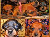 Собаки, щенята Пінчер, ціна 3000 Грн., Фото