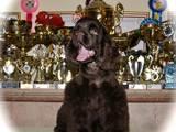Собаки, щенята Американський коккер, ціна 7000 Грн., Фото