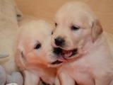 Собаки, щенки Золотистый ретривер, цена 4000 Грн., Фото