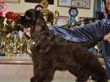 Собаки, щенки Американский коккер, цена 8000 Грн., Фото
