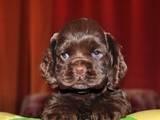 Собаки, щенята Американський коккер, ціна 8000 Грн., Фото