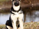 Собаки, щенята Східно-Європейська вівчарка, ціна 4500 Грн., Фото