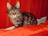 Кошки, котята Сибирская, цена 20 Грн., Фото
