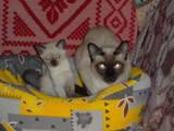 Кошки, котята Сиамская, цена 450 Грн., Фото