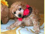 Собаки, щенята Карликовий пудель, ціна 1300 Грн., Фото