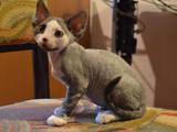 Кішки, кошенята Девон-рекс, ціна 1000 Грн., Фото