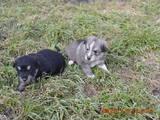 Собаки, щенята Південноросійська вівчарка, ціна 1000 Грн., Фото