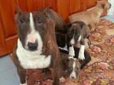 Собаки, щенята Бультер'єр, ціна 900 Грн., Фото
