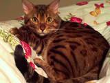 Кішки, кошенята Бенгальськая, ціна 10 Грн., Фото