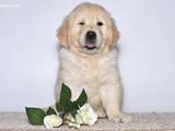 Собаки, щенки Золотистый ретривер, цена 3950 Грн., Фото
