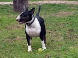 Собаки, щенки Бультерьер, цена 5000 Грн., Фото