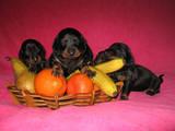 Собаки, щенята Гладкошерста мініатюрна такса, ціна 4000 Грн., Фото