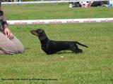 Собаки, щенки Гладкошерстная миниатюрная такса, цена 4000 Грн., Фото