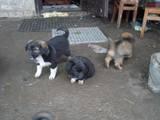 Собаки, щенята Безпорідна, ціна 1 Грн., Фото