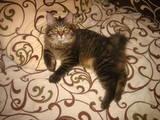 Кішки, кошенята Курильський бобтейл, ціна 2300 Грн., Фото