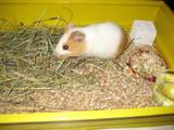 Грызуны Морские свинки, цена 20 Грн., Фото