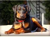 Собаки, щенки Спаривание, цена 100 Грн., Фото