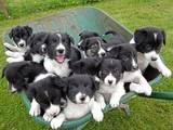 Собаки, щенята Бордерколлі, Фото