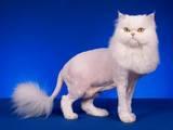 Кошки, котята Шиншилла, цена 300 Грн., Фото