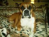 Собаки, щенята Боксер, Фото