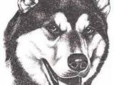 Собаки, щенята Східно-сибірська лайка, ціна 0.10 Грн., Фото