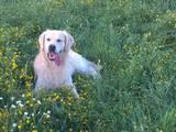 Собаки, щенки Золотистый ретривер, цена 2555 Грн., Фото