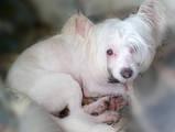 Собаки, щенки Китайская хохлатая собака, цена 300 Грн., Фото